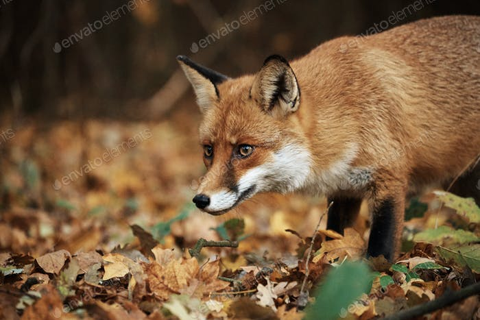 Fox on autumn forest