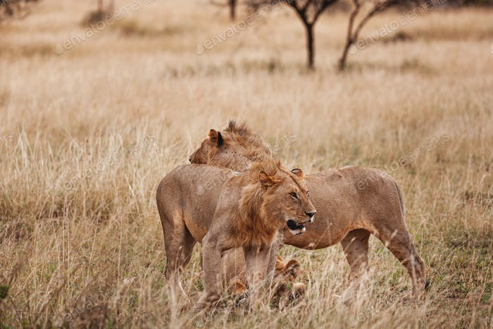 Animals in the wild - Young male lions of a pride in the Serengeti National Park, Tanzania