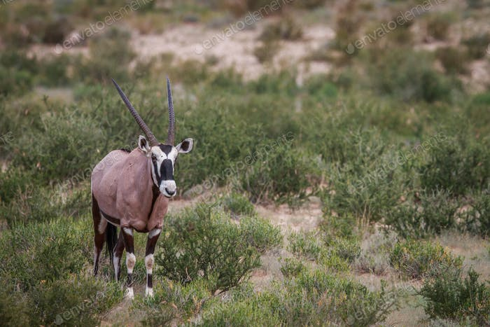 Gemsbok standing in the grass.