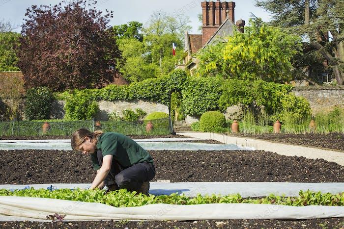 Eine Frau, die in einem ummauerten Garten arbeitet und Gemüse aus Pflanzen unter Gartenbauvlies erntet.