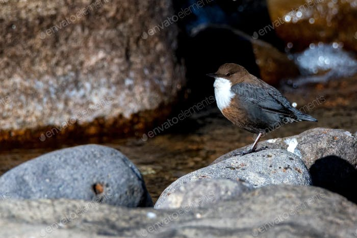 Close up of white-throated dipper or Cinclus cinclus
