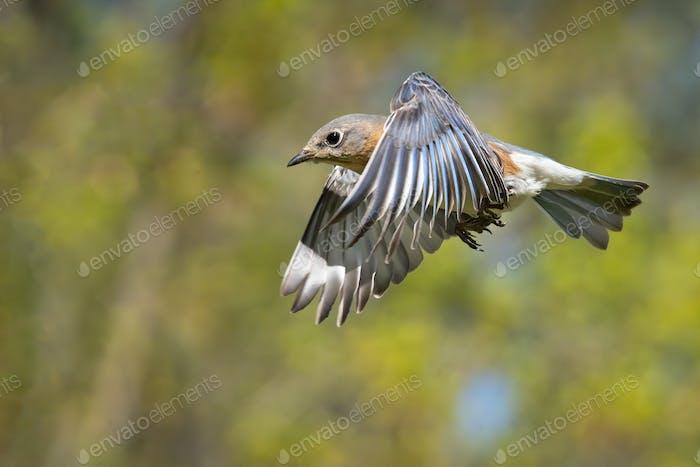 Eastern Bluebird im Flug