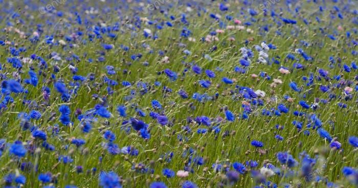Blur cornflower field garden in countryside