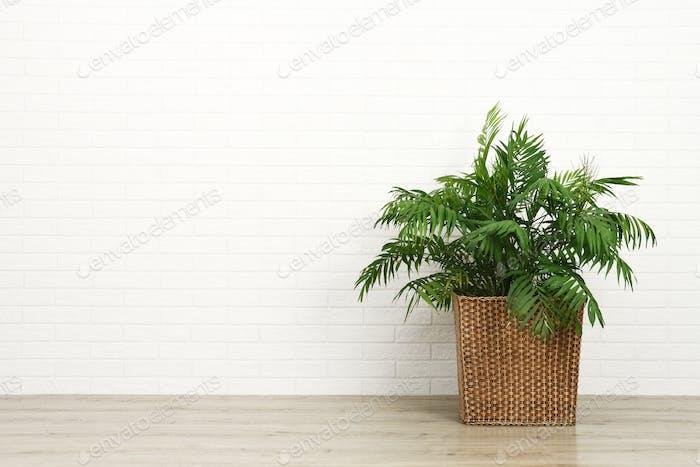Schöne Zimmerpflanze Palme