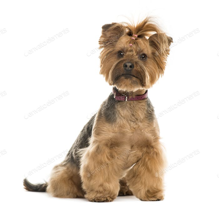 Yorkshire Terrier sitting, 6 years old, isolated on white