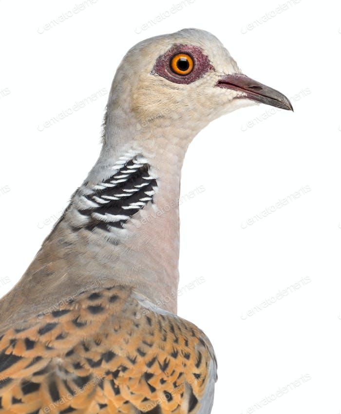 European Turtle Dove, Streptopelia turtur, also known as the Turtle Dove against white background