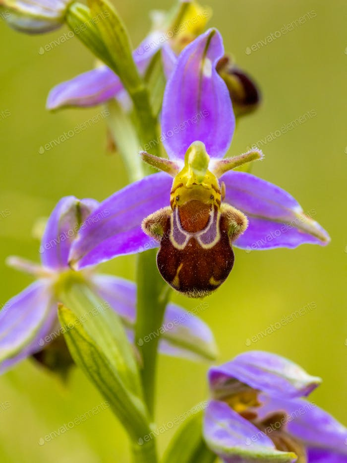 Bee orchid Pink flower