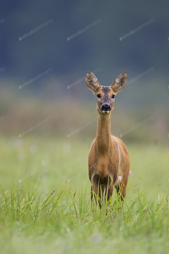 Roe deer in the wild