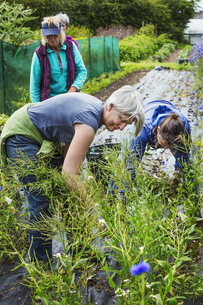 Three mature women working in the flowerbeds in an organic flower garden.