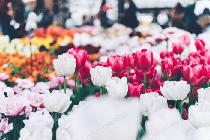 Flowerbeds of blossoming tulips