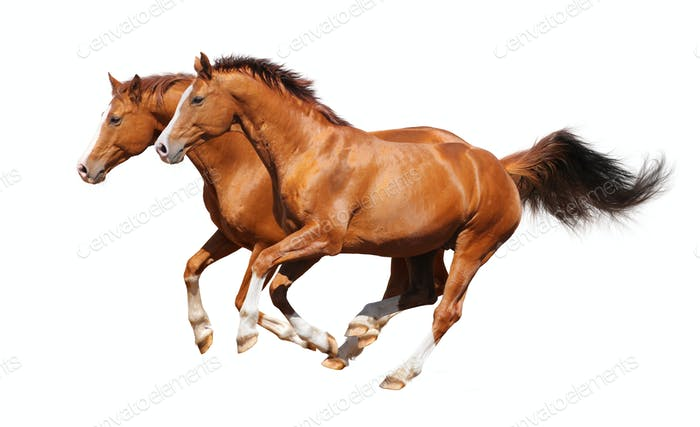 Two Sorrel Horses Gallop