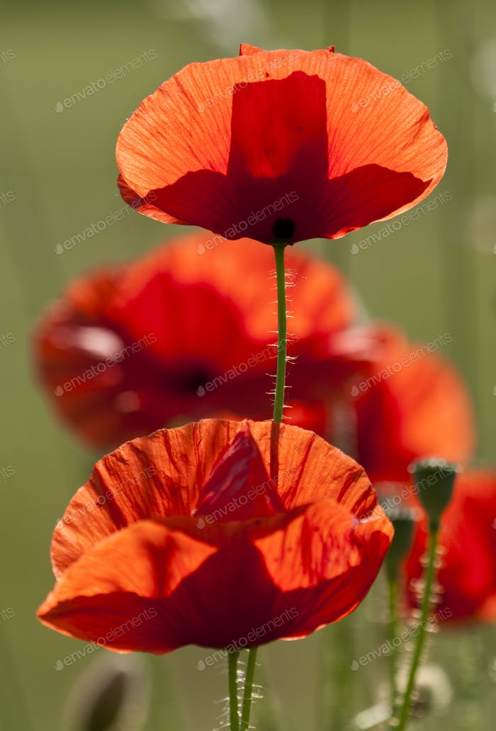 Poppy Flowers in back Light