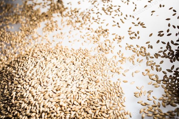 Pilsner Malt Beer Grain Heap on a White Table
