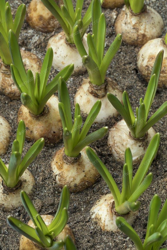 Growing muscari bulbs