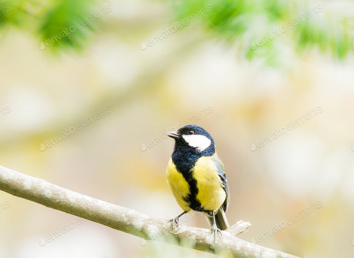 Great Tit bird sitting on a tree branch