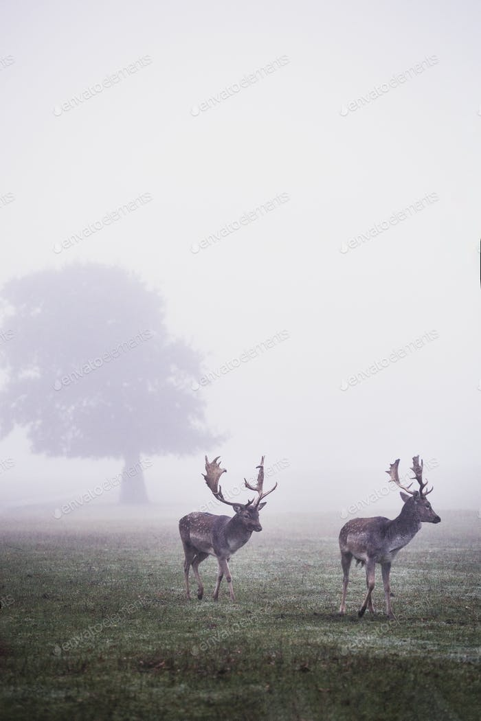 Stags in park on a misty morning, tree in background.