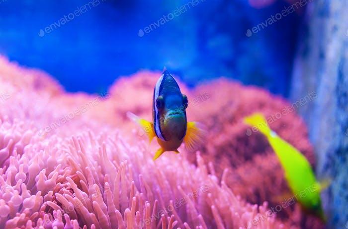 Blue tang surgeonfish