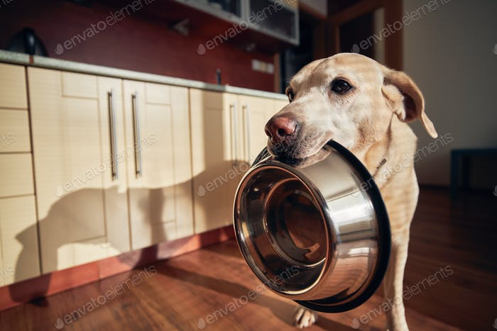 Hungry dog holding bowl and waiting for feeding