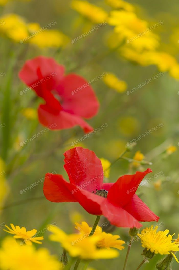 Rote Mohnblumen