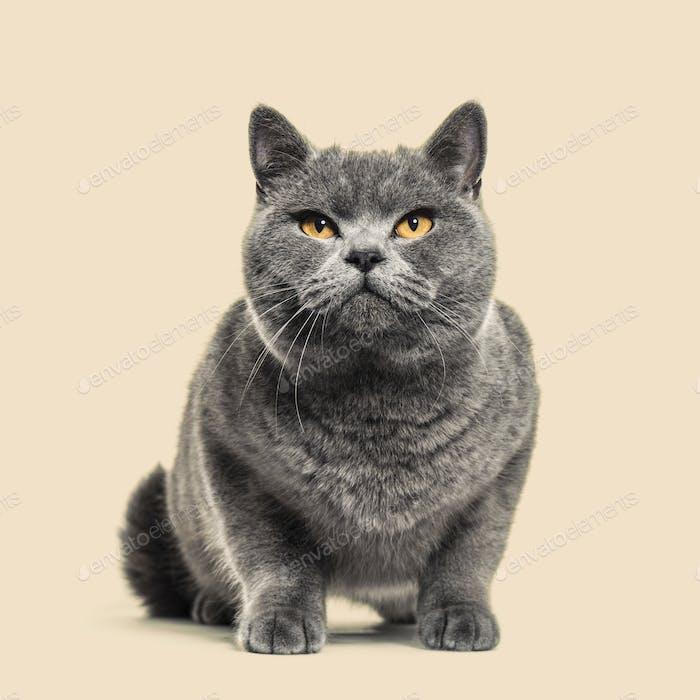 Grey british shorthair cat, brown background
