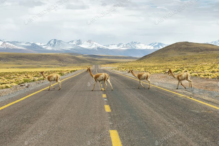 Vicunas in the meadows of Atacama region