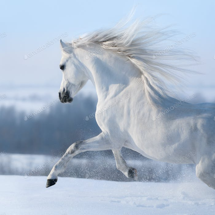 Beautiful white horse with long mane galloping across winter mea