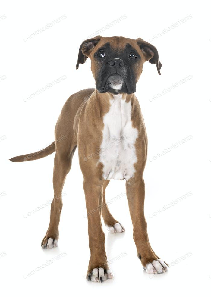 puppy boxer in studio