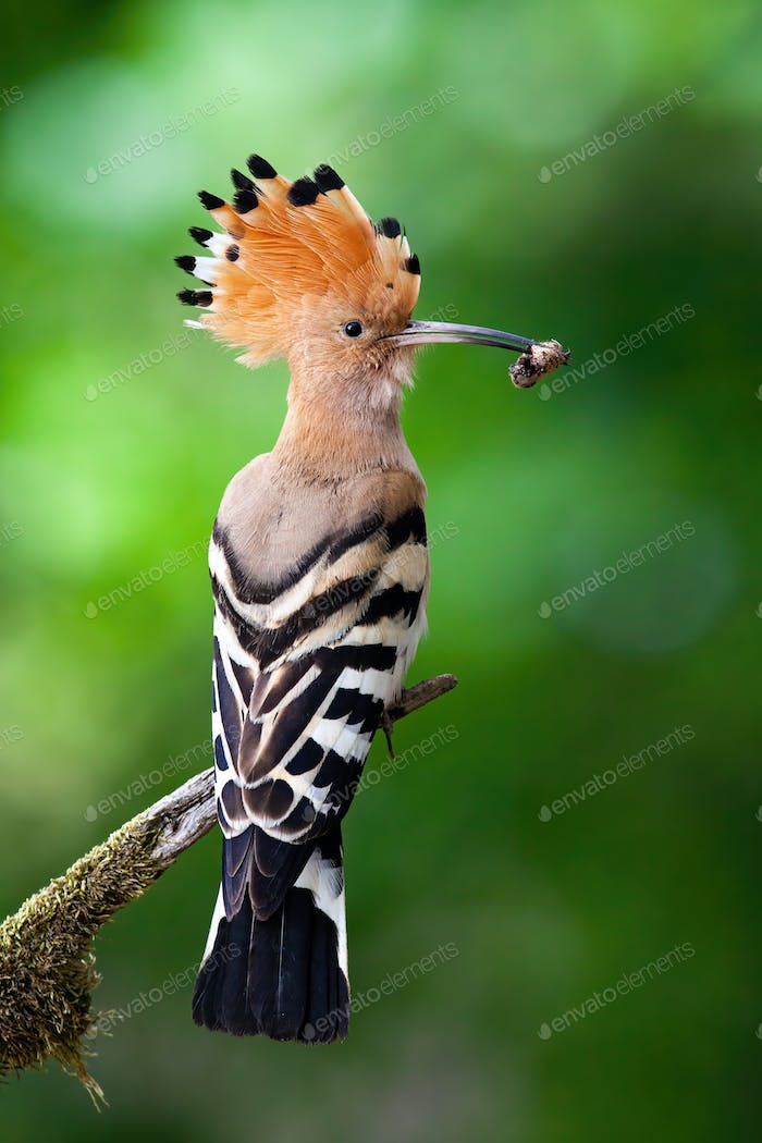 Eurasian hoopoe sitting on branch in summer from back view