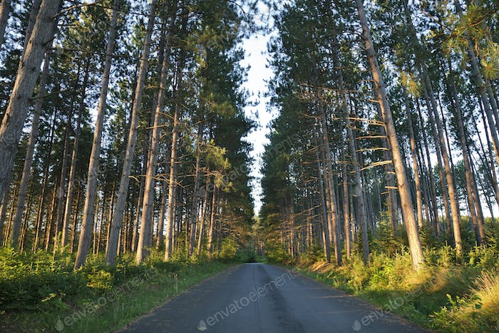 Pine Trees and Road in Early Morning Sunlight