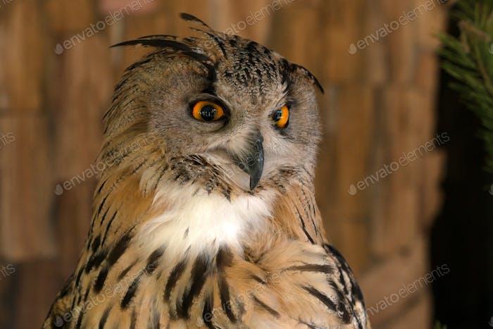 Close-up of eurasian eagle-owl