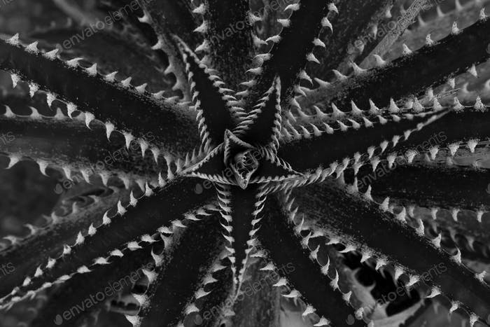 Closeup of orchard pineapple (Dyckia dawsonii)