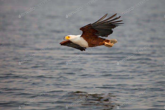 Африканский рыбный орел, Haliaeetus Vocifer, летает над водой, ноги, заправлены к телу, вылетает из
