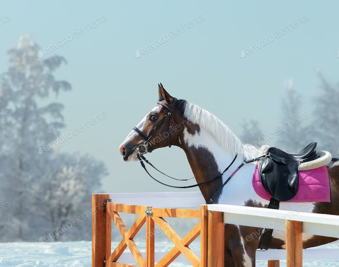 American Paint horse with bridle and english saddle in winter.