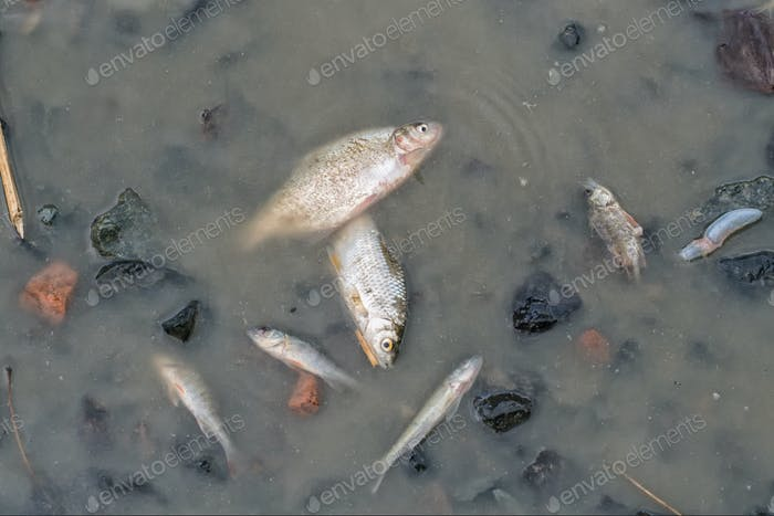 A dead fishes at the bottom of the pond