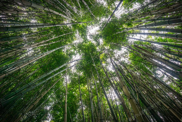 Looking up in a bamboo forest