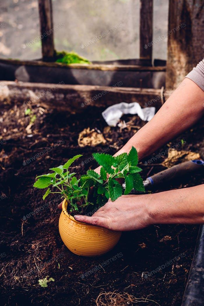 Replanting Lemon Balm