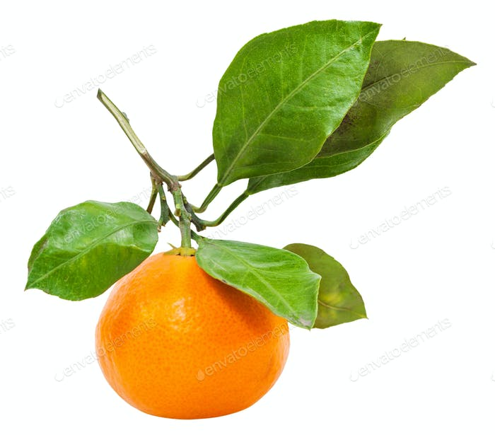 twig with fresh ripe abkhazian tangerine isolated