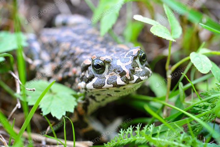 Green frog (Bufo viridis) on a green grass