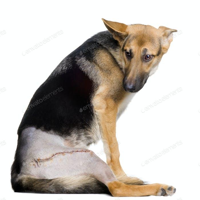 Young wounded german shepherd
