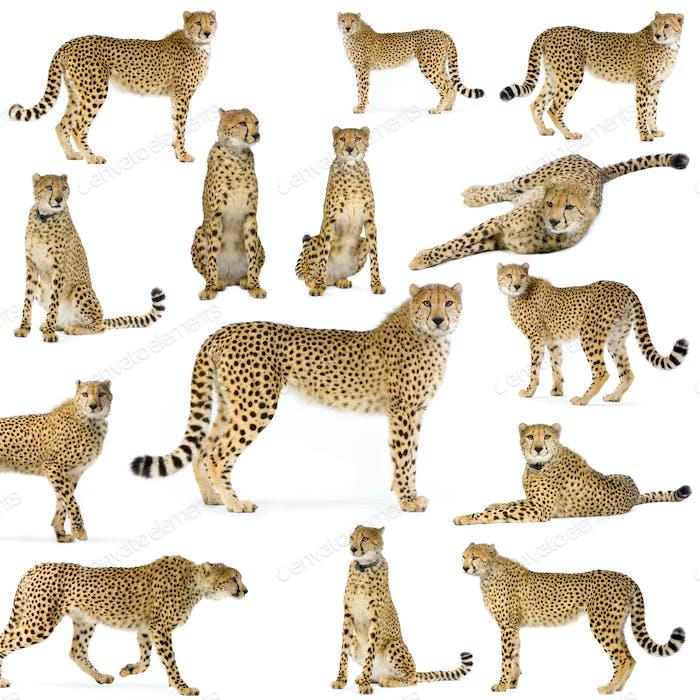 Vierzehn Geparden