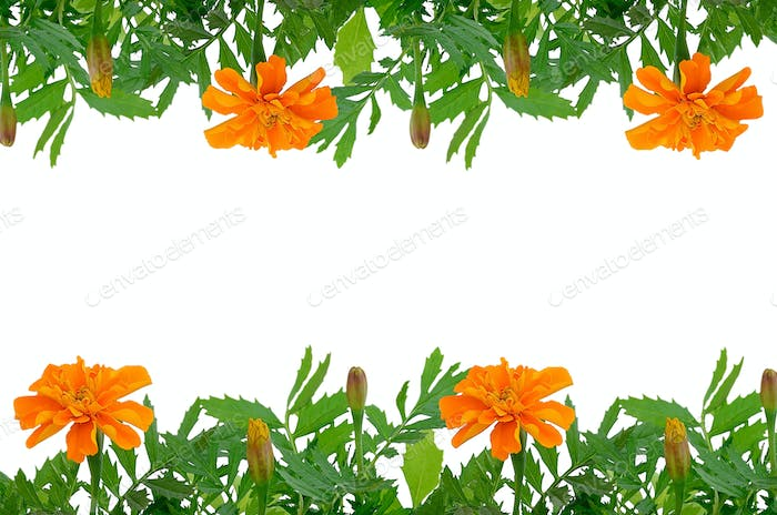 Bright Tagetes flowers frame