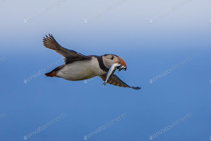 Flying Puffin with fish
