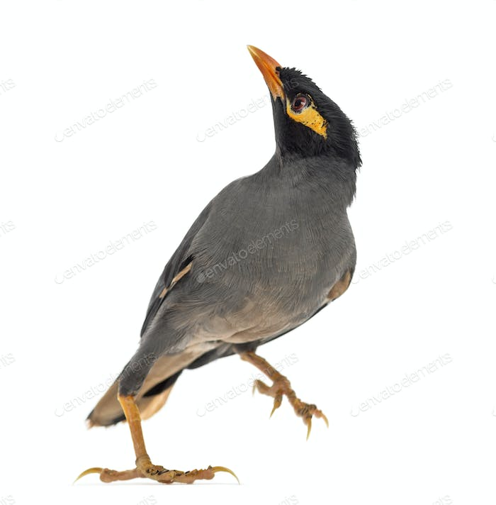 Bank Myna isolated on white