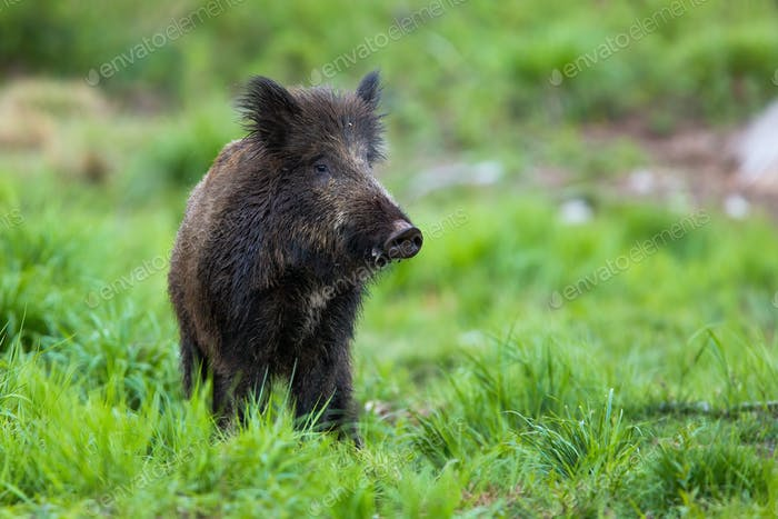 Shy wild boar standing on a meadow at dusk and looking from front view