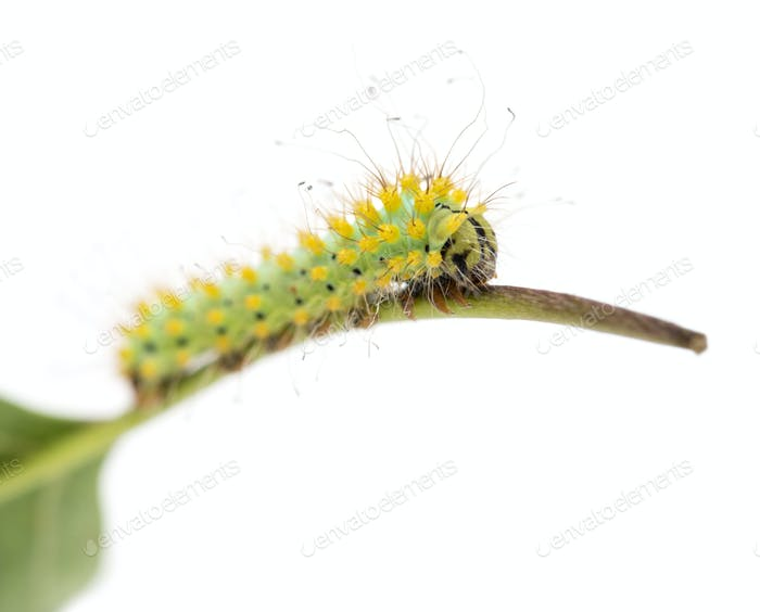 Caterpillar of the Giant Peacock Moth on stem, Saturnia pyri, against white background