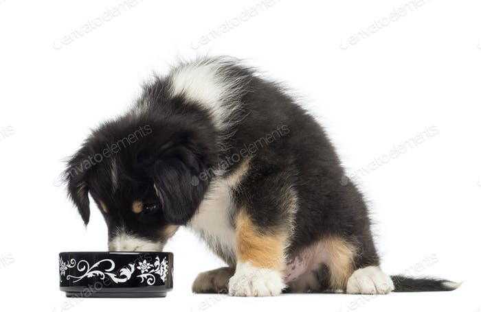 Australian Shepherd puppy, 2 months old, sitting and eating from bowl against white background