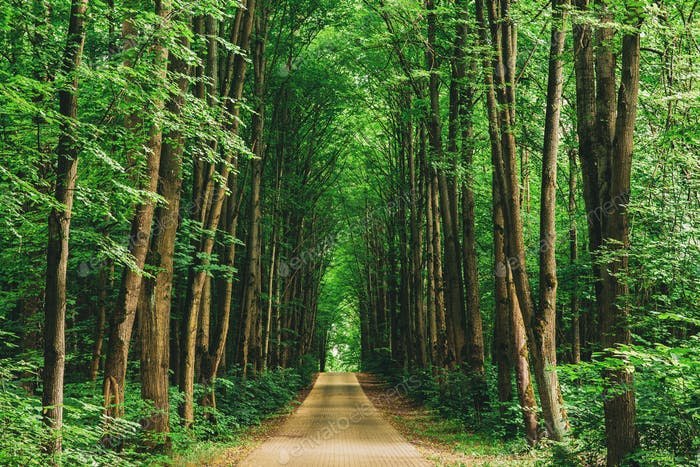Walkway Lane Path With Through Tilia Cordata Trees In Forest. Be