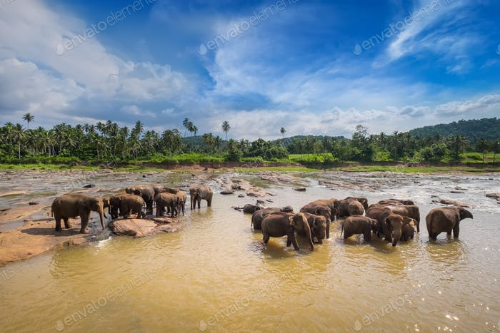 Big Asian elephants. Nature of Sri Lanka