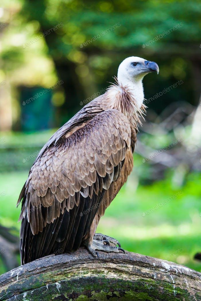Eurasian griffon.  vulture
