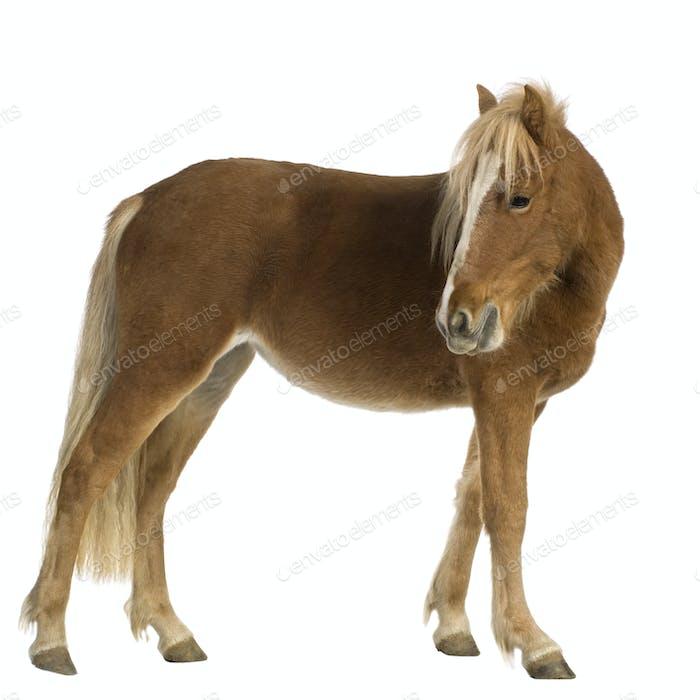 Shetland pony (2 years)